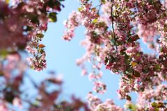 Cherry blossoms Spring. Flowering trees.  royalty free stock images