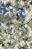 Cherry blossoms. Spring Stock Image