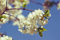 Cherry blossoms. Spring Stock Photo