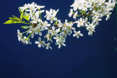 Cherry blossoms. A spring of cherry with flowers, sunlit, on a blue background Royalty Free Stock Image
