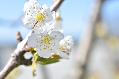 Cherry blossoms. In a spring garden Stock Photo