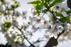 Cherry blossoms in spring garden, sun glare Stock Image