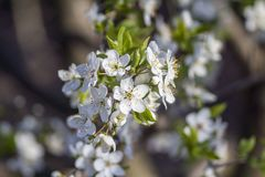 Cherry blossoms. Spring. green Garden. Cherry Blossom. white. the tree is blooming. macro royalty free stock images