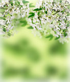 Cherry blossoms. Spring in the orchard. Stock Photography