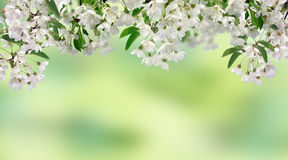 Cherry blossoms. Spring in the orchard. Cherry blossoms. Spring. The branches of the cherry blossoms on natural blurred background. Close-up Stock Images