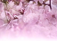 Cherry blossoms. Spring postcard Stock Images