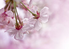 Cherry blossoms. Royalty Free Stock Photo