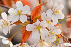 Cherry Blossoms in Spring Sakura Stock Photos