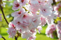 Cherry blossoms. Spring scene with blooming cherry tree Stock Photography