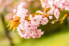 Cherry blossoms in the spring tree.  Royalty Free Stock Photography