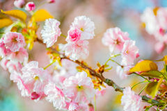 Cherry blossoms in the spring tree.  Stock Photos