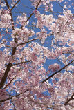 Cherry Blossoms. Spring blossoms on a cherry tree against a blue sky Royalty Free Stock Photos