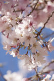 Cherry Blossoms. Spring blossoms on a cherry tree against a blue sky Stock Images