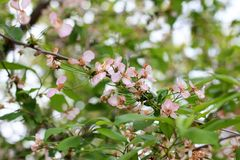 Cherry blossoms. Spring tree. Blooming tree stock photo