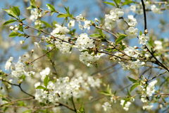 Cherry blossoms in spring Stock Images