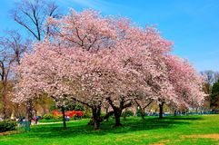 Cherry blossoms in Spring, Washington DC, USA stock photo