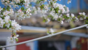 Cherry blossoms in spring. white flowers on the branches. Cherry blossoms in spring.  white flowers on the branches stock video