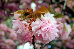 Cherry Blossoms in the Springtime. Close up of cherry blossoms providing detail of structure and color Royalty Free Stock Photo