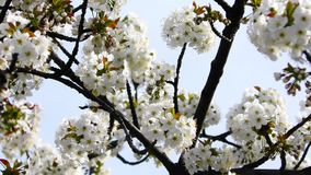 Cherry blossoms in springtime stock video footage
