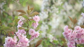 Cherry blossoms in springtime. Tree branches waving in the wind stock footage