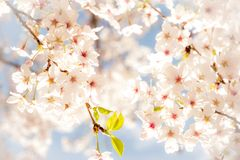 Cherry blossoms. Sprinkling the spring under the blue sky Stock Photos