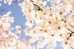 Cherry blossoms. /  sprinkling the spring under the blue sky Stock Images
