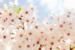 Cherry blossoms. Sprinkling the spring under the blue sky Stock Images