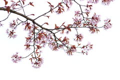 Cherry blossoms. Start to bloom as spring arrives in Finland stock photography
