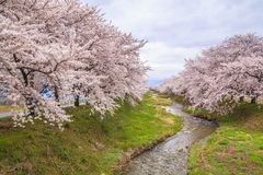 Cherry blossoms and stream Stock Photos