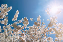 Cherry Blossoms Sun Flare Stock Image