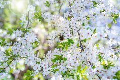 Cherry blossoms with sun in spring Stock Photos