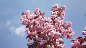 Cherry blossoms swaying in wind over blue sky. In spring stock video footage