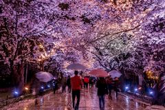 Takada Sakura cherry blossoms stock photography