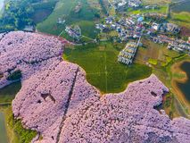 Cherry blossoms and tea gardens Royalty Free Stock Images