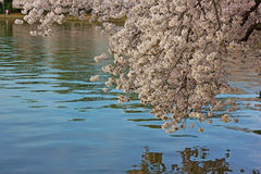 Cherry blossoms and their reflections in Tidal Basin. Royalty Free Stock Photos