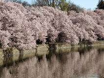 Cherry Blossoms at the Tidal Basin Stock Images