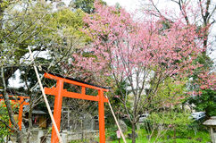 Cherry blossoms and Torii Gate in Hirano Jinja Shrine, Kyoto Royalty Free Stock Photo