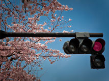 Cherry blossoms and traffic lights. Traffic lights in Tokyo during hanami season Stock Photography