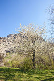 Cherry blossoms tree Royalty Free Stock Images