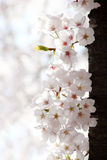 Cherry blossoms tree. Close up of cherry blossoms Royalty Free Stock Image