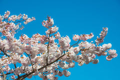 Cherry Blossoms Tree Stock Image