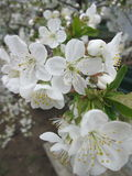 Cherry blossoms. On the tree stock photo