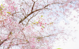 Cherry Blossoms Tree Fotos de Stock Royalty Free