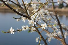 Cherry blossoms on tree stock photos