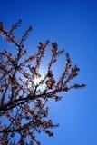 Cherry Blossoms Tree Blue Sky et lumière du soleil Sunstar Photo libre de droits