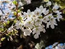 Cherry blossoms on a tree branch. White cherry blossoms on a branch in Seattle, WA, USA stock images