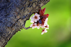 Cherry Blossoms on Tree with Branches and Bark Green Grass Royalty Free Stock Images