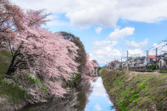 Cherry blossoms tree near Kajo Park with train. Yamagata - April 15:Kajo Park which is Yamagata Castle ruin Stock Photography