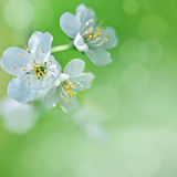 Cherry blossoms on the tree in spring.  Royalty Free Stock Photography