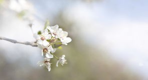 Cherry blossoms on a tree. In springtime Stock Images